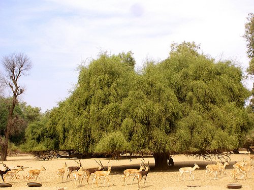 Горчичное дерево