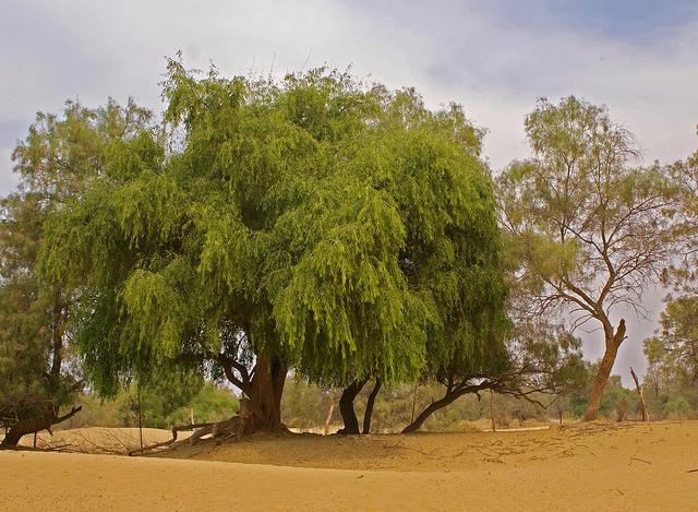 Горчичное зерно и дерево - что имел в виду Иисус (5)